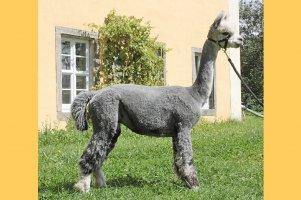 AOS Peruvian Silver